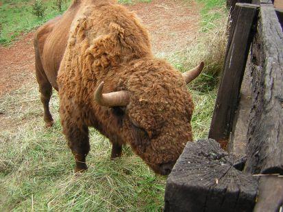Cabarceno, bisonte