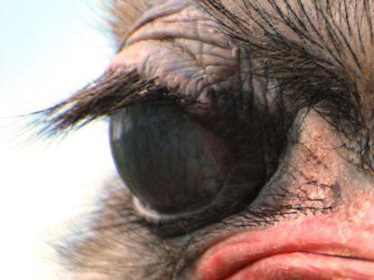 Ojo avestruz