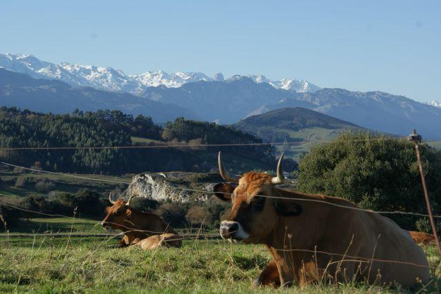 las vacas de Marcos