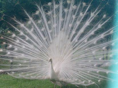 abanico blanco