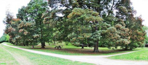 Parque de La Viesca, Acacia KOA