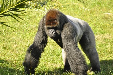 gorila cabarceno