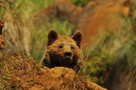 oso cabarceno