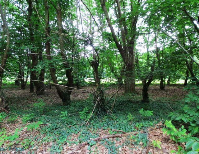 Bosque de castaños en Quijas