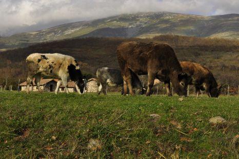 vacas en riaño