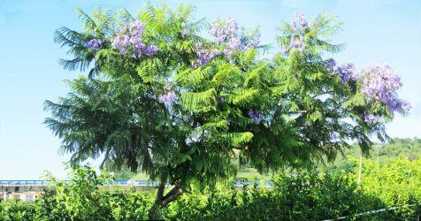 Acacia Constantinopla, variedadmorada