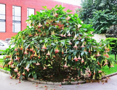 Arbusto datura