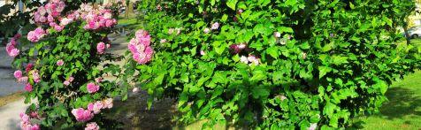 Rosal en el Barrio Covadonga