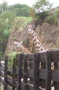 Cabárceno, jirafas