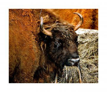 bisonte (Cabarceno)