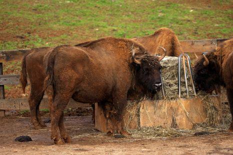Bisontes de Cabarceno