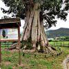 Eucalipto centenario en Viernoles