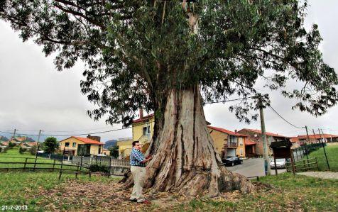 Eucalipto centenario en Viérnoles.