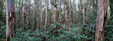 Eucaliptus en el  Monte Corona