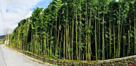 Plantacion de bambu en Vargas