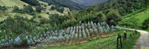 Plantación de eucaliptus en Lamiña