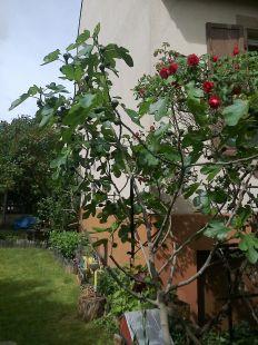 Higos y rosas en el jardín.