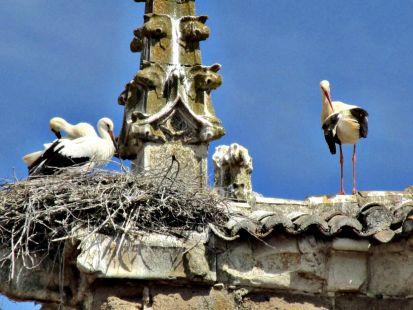 Cigüeñas en Osorno