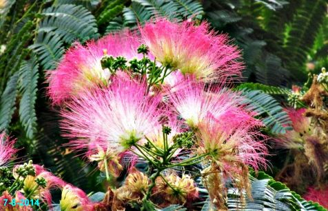Flor de acacia