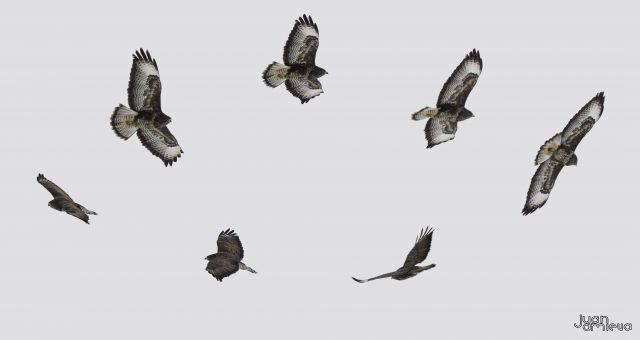 Vuelo águila perdicera
