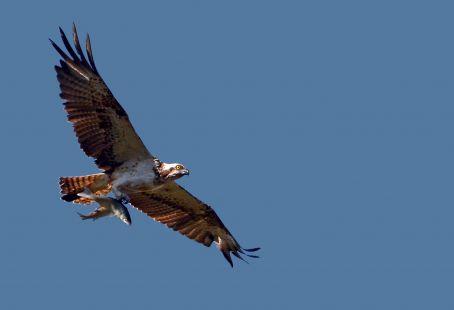 Águila pescadora con doble presa